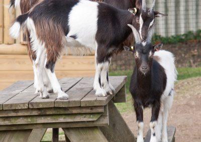 goats totem